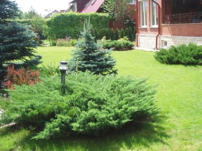 Evergreen garden: all the secrets of growing conifers
